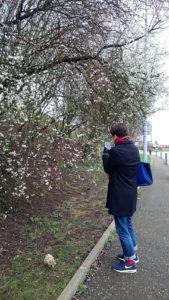 フランスの桜🌸
